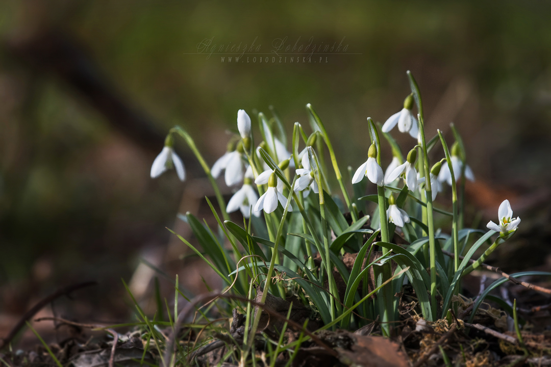 Śnieżyczka przebiśnieg (Galanthus nivalis L.)