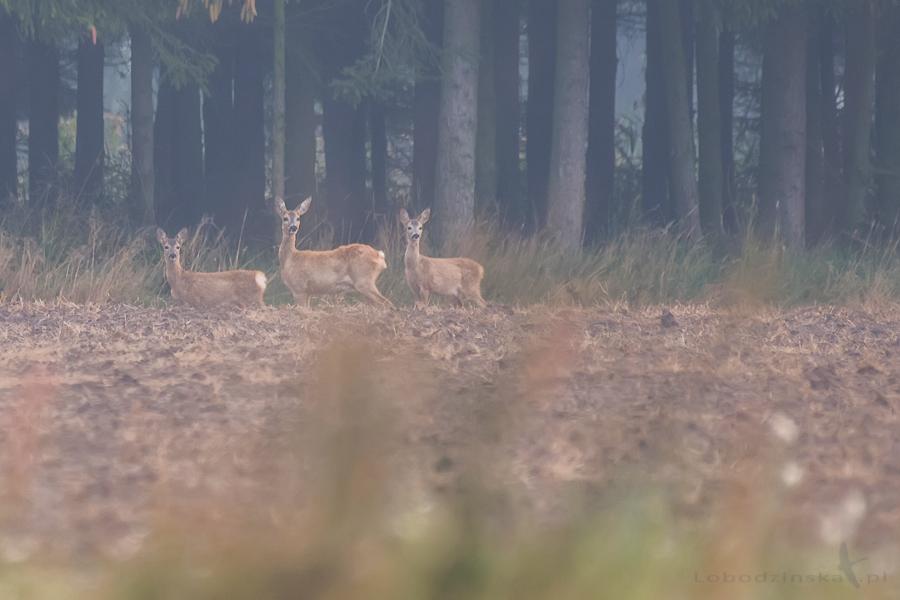 Strażniczki lasu (Sarny) - Dolina Baryczy 2017