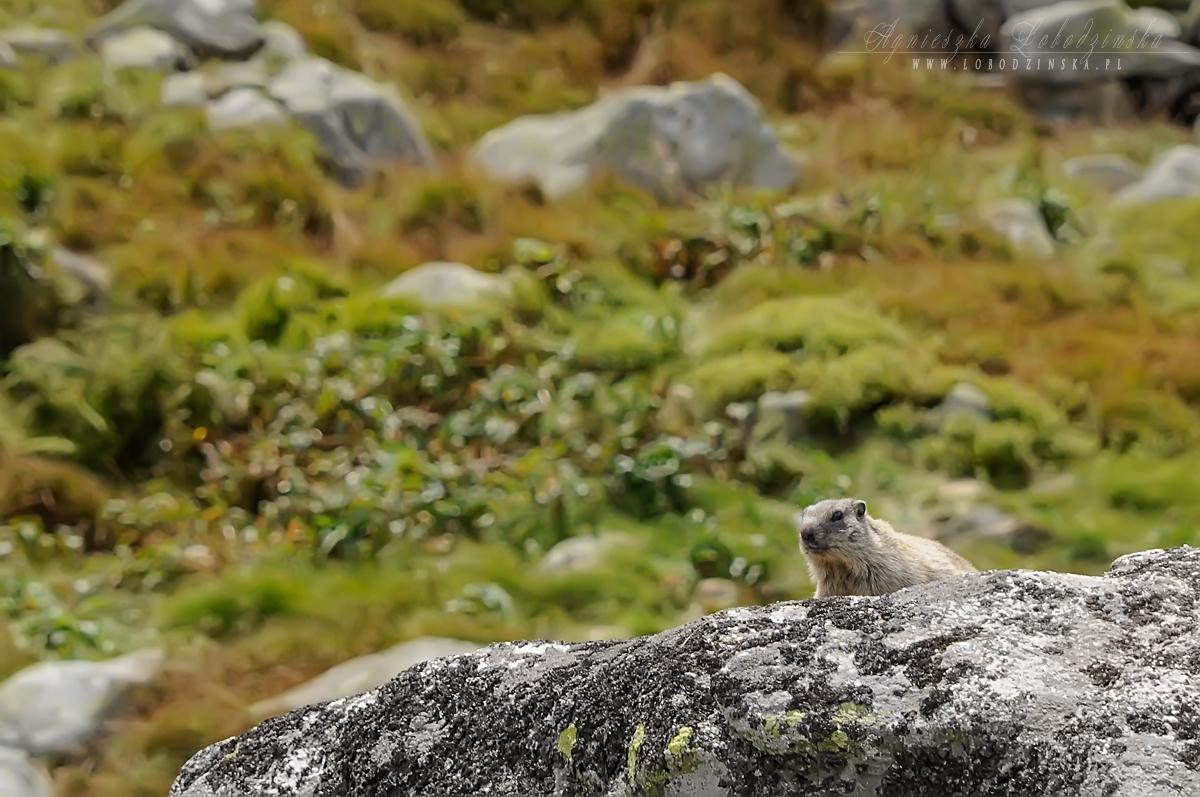 Świstak  (Marmota)