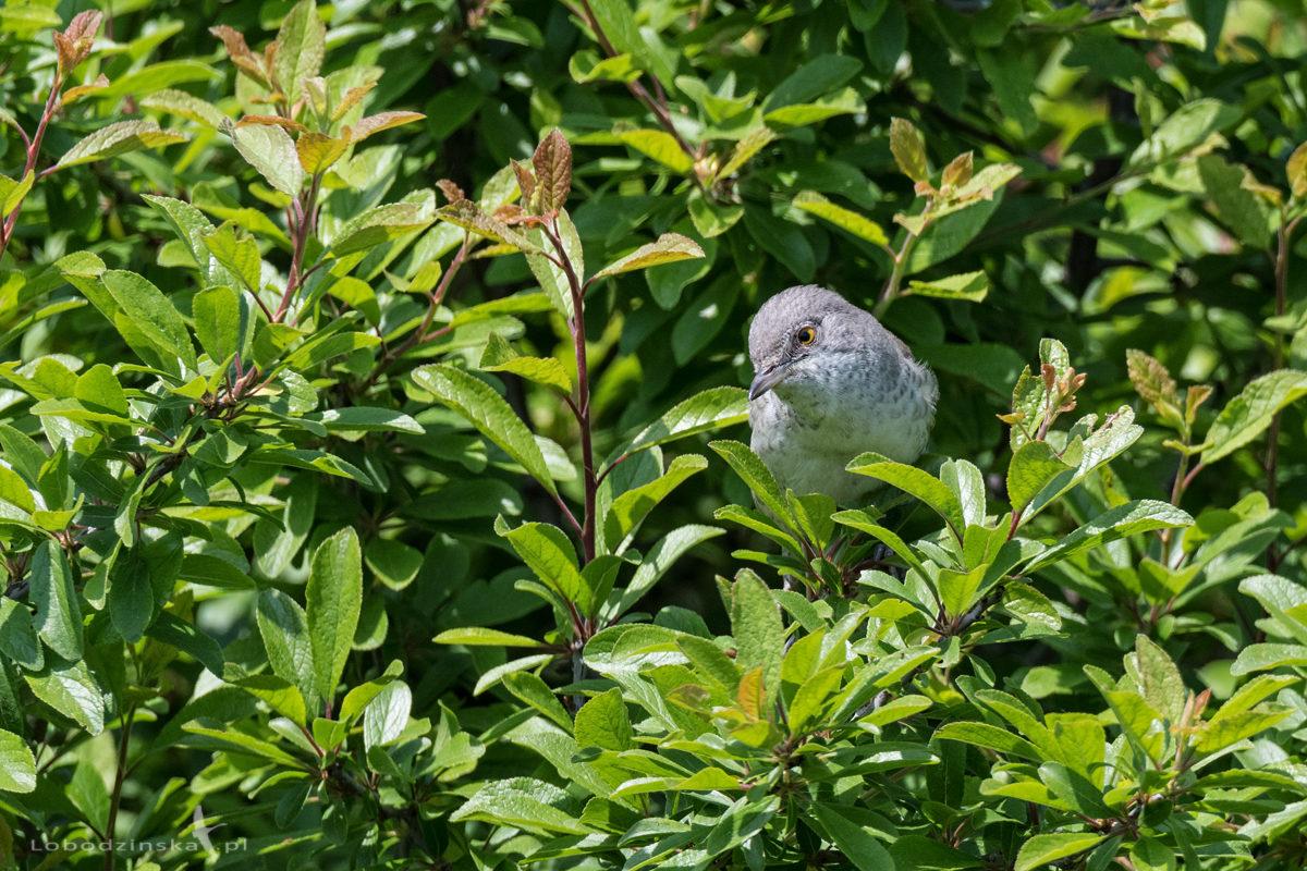 Jarzębatka (Sylvia nisoria)