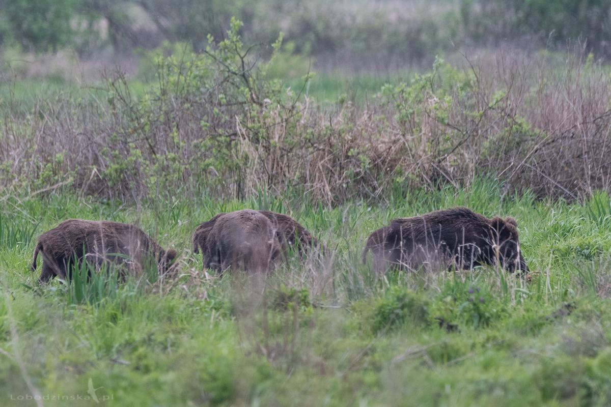 Dziki europejskie (Sus scrofa)