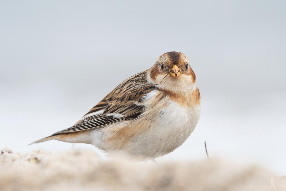 Śnieguła (Plectrophenax nivalis)