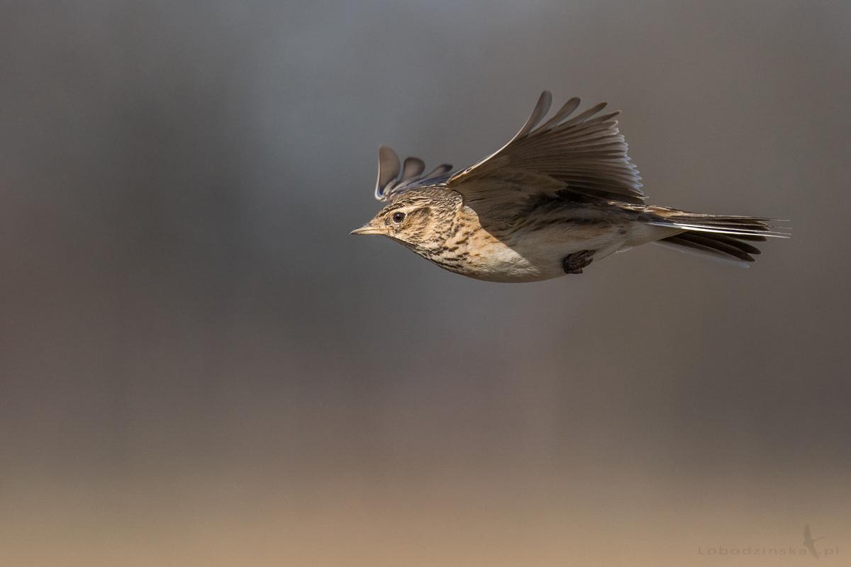 Skowronek (Alauda arvensis)