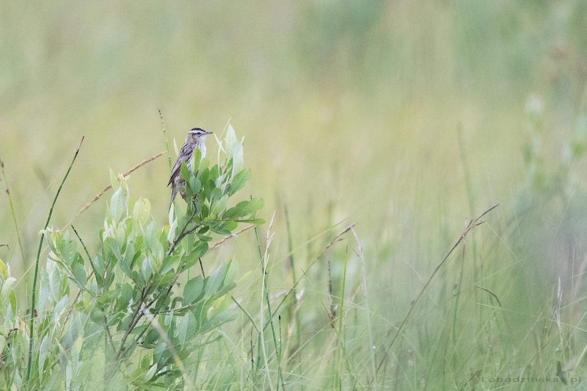 Wodniczka (Acrocephalus paludicola)