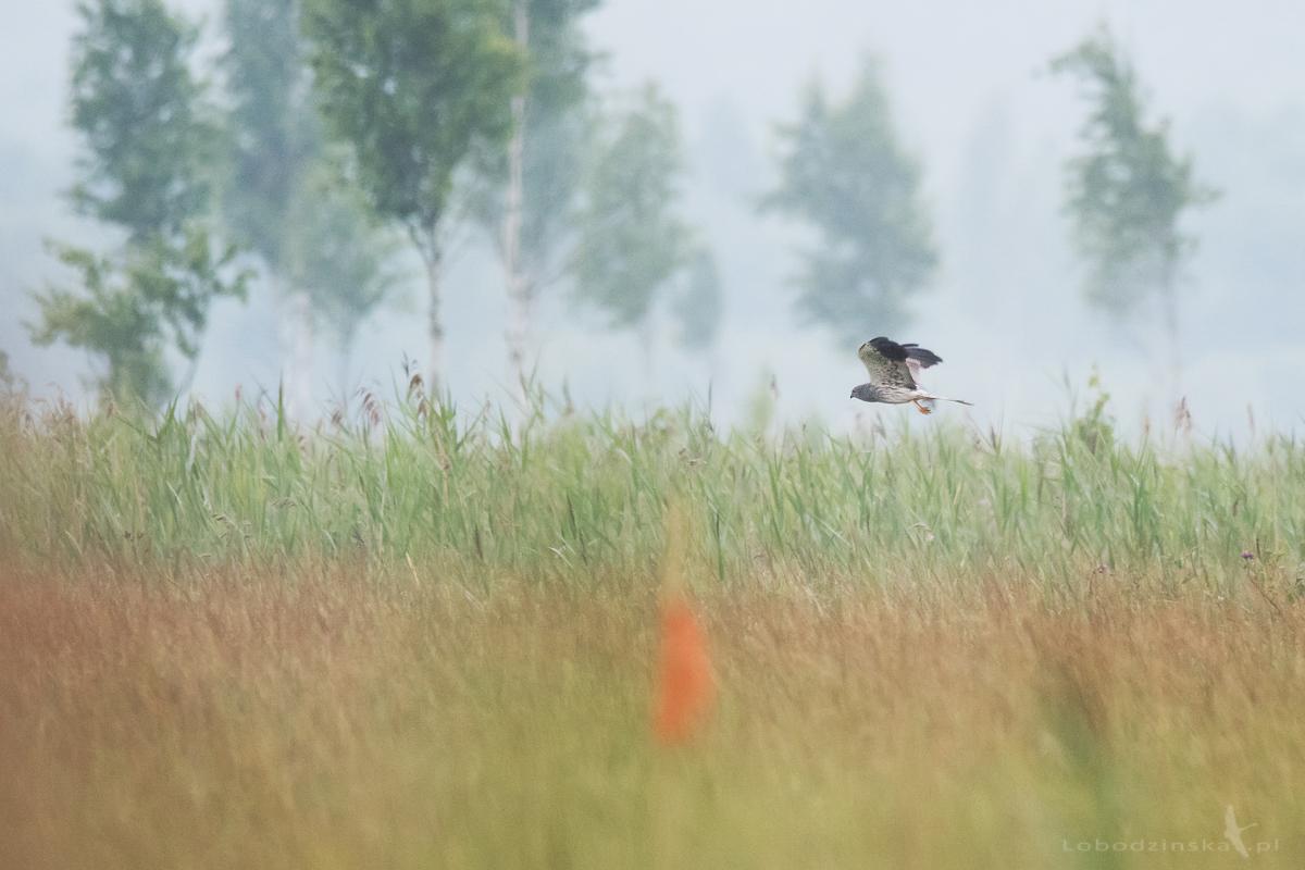 Błotniak łąkowy (Circus pygargus)