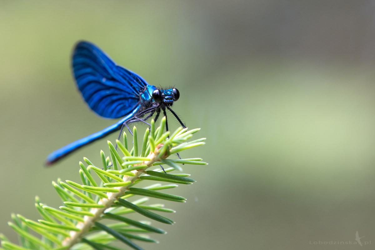 ŚWITEZIANKA DZIEWICA , MODRA (Calopteryx virgo)