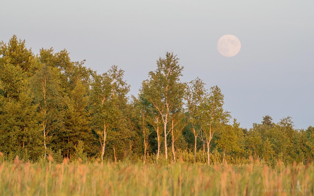 Wschód księżyca nad bagnami biebrzańskimi