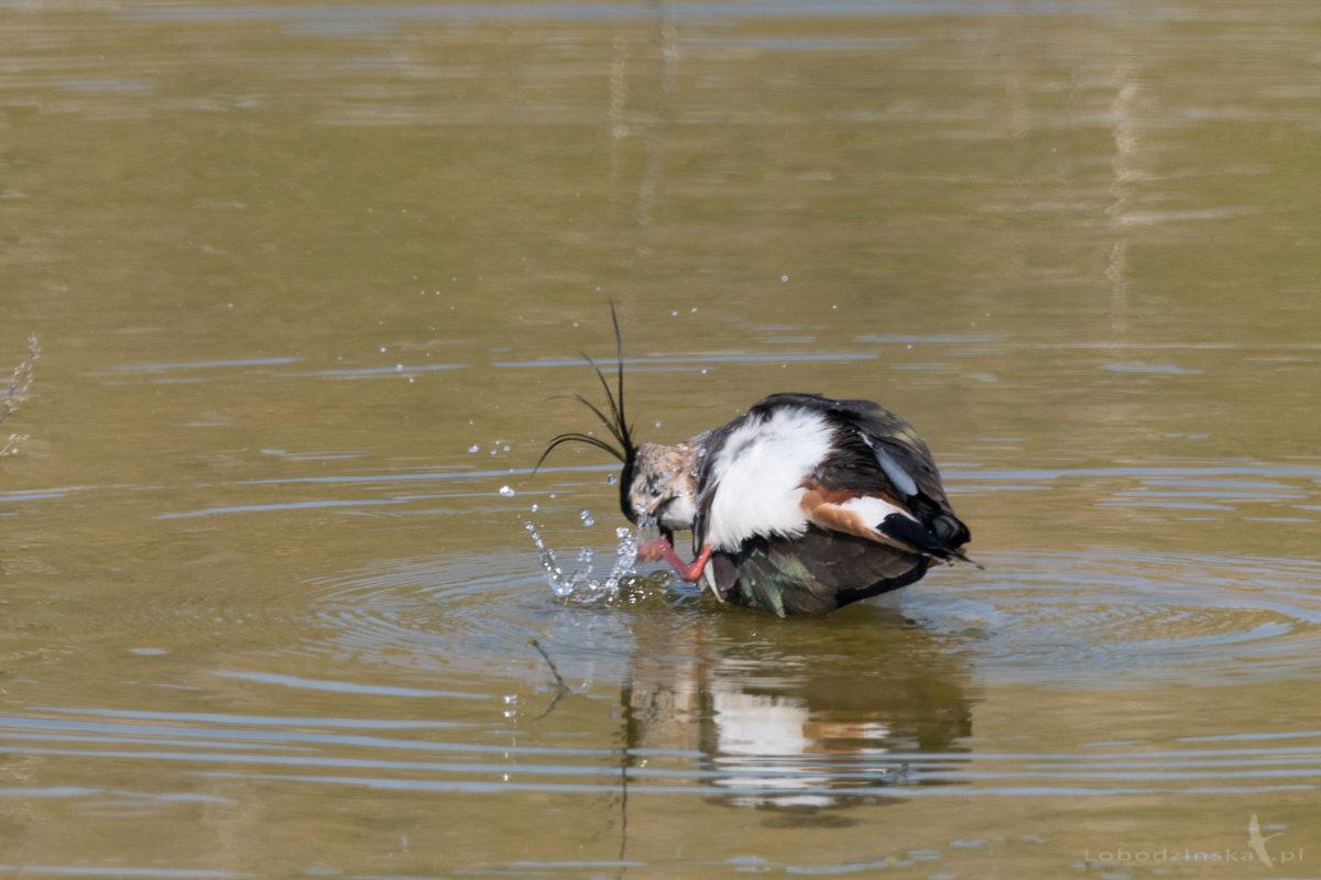 Czajka (Vanellus vanellus)