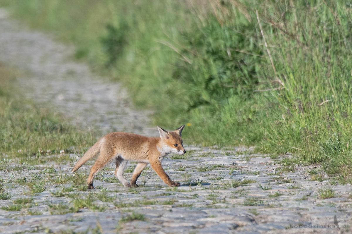 Lis - młody (juv. Vulpes vulpes)