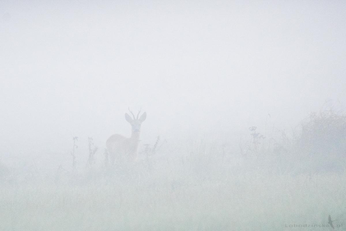 Kozioł w porannej mgle