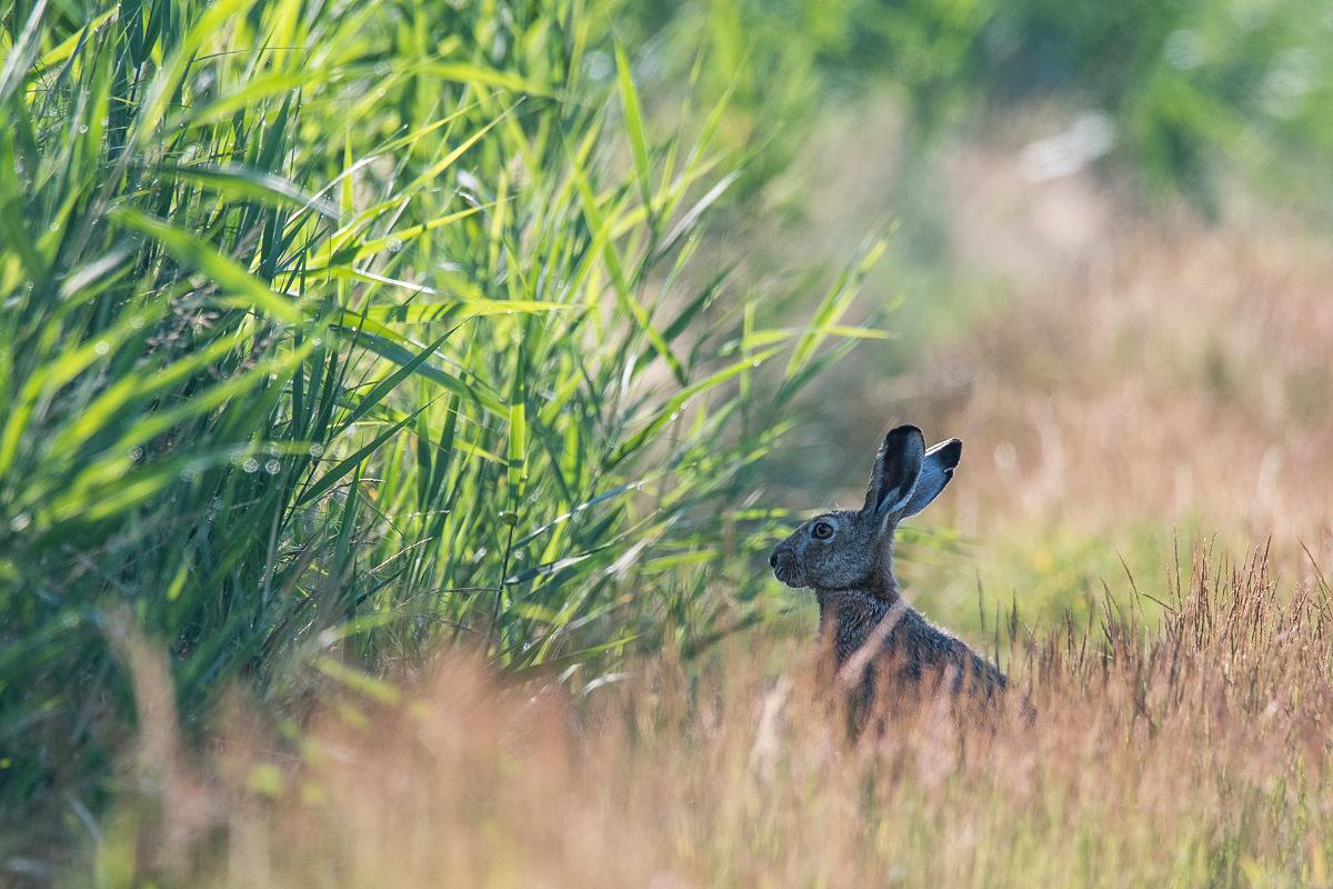 Zając szarak[ (Lepus europaeus)