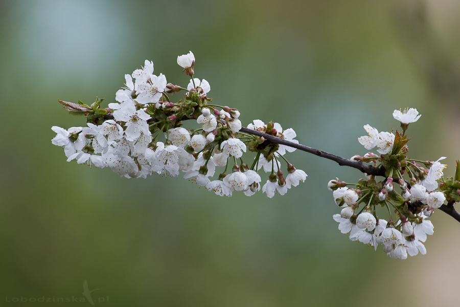 Kwiaty czereśni (Cerasus avium)