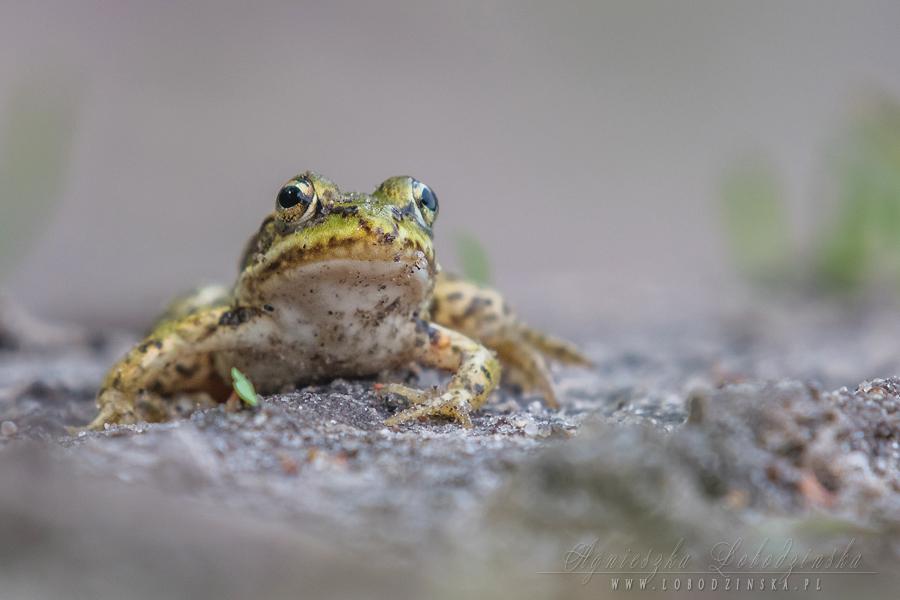 Żaba jeziorkowa (Rana lessonae)
