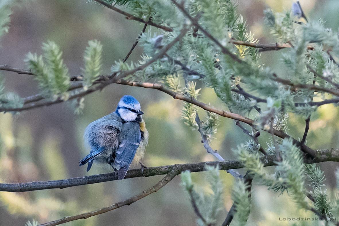 Sikora modra (Parus caeruleus)