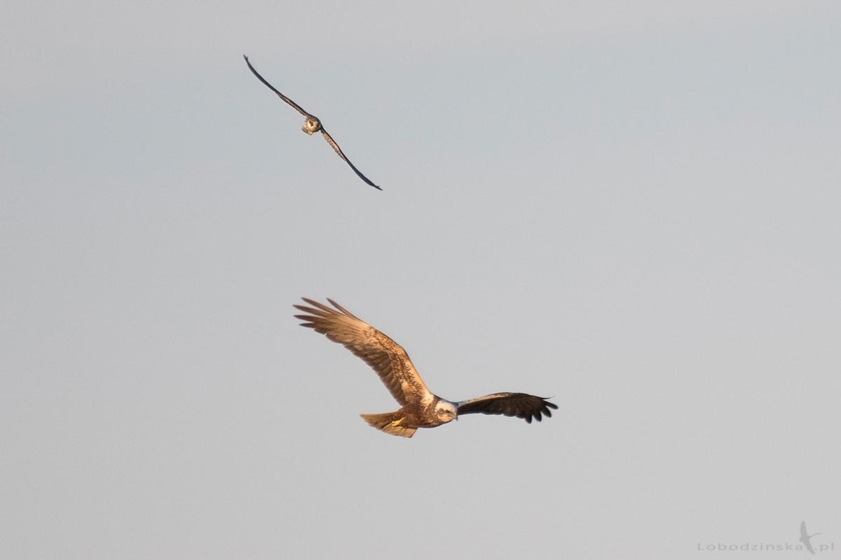 Kobczyk (Falco vespertinus) & Błotniak stawowy (Circus aeruginosus)