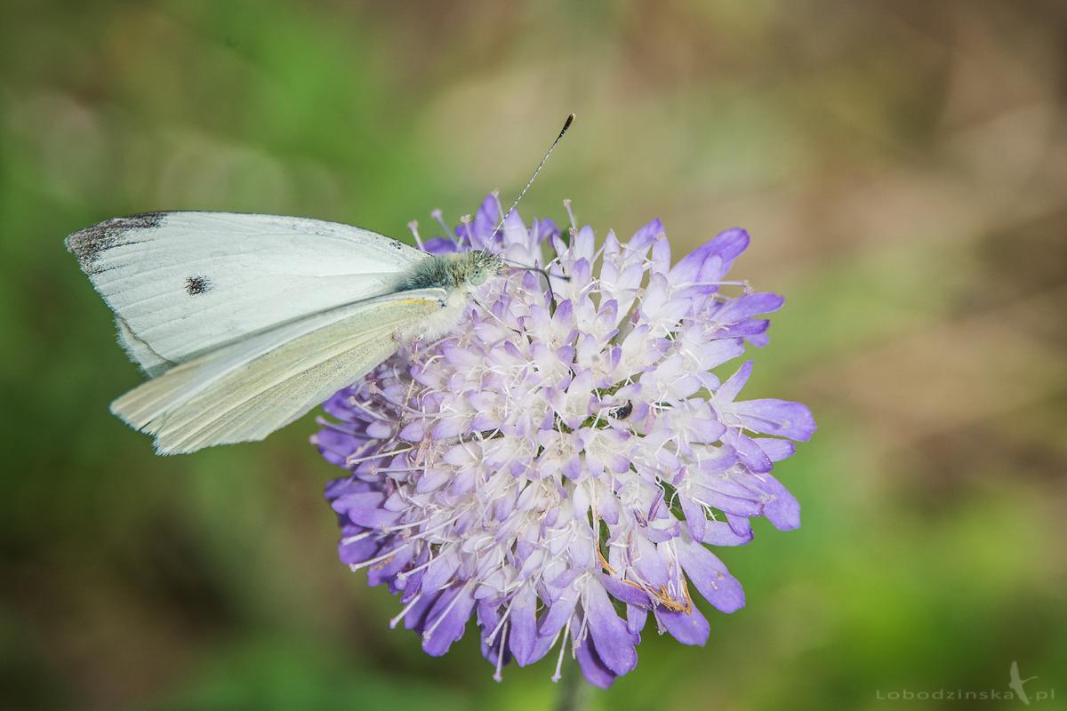 Bielinek rzepnik (Pieris rapae Linnaeus