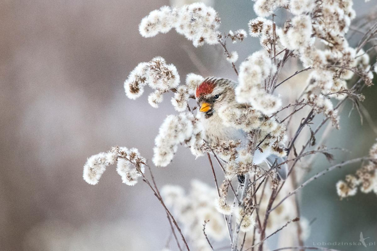 Czeczotka (Carduelis flammea)