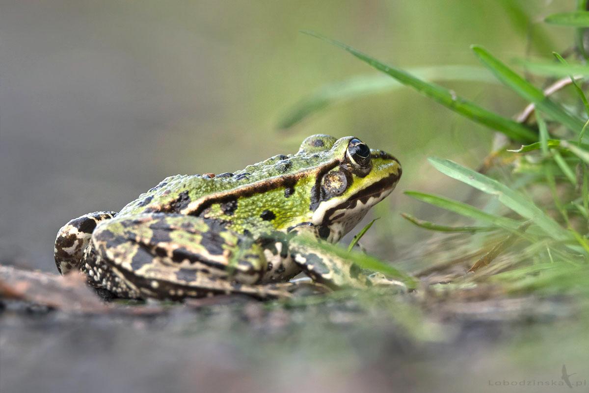Żaba wodna Pelophylax esculentus