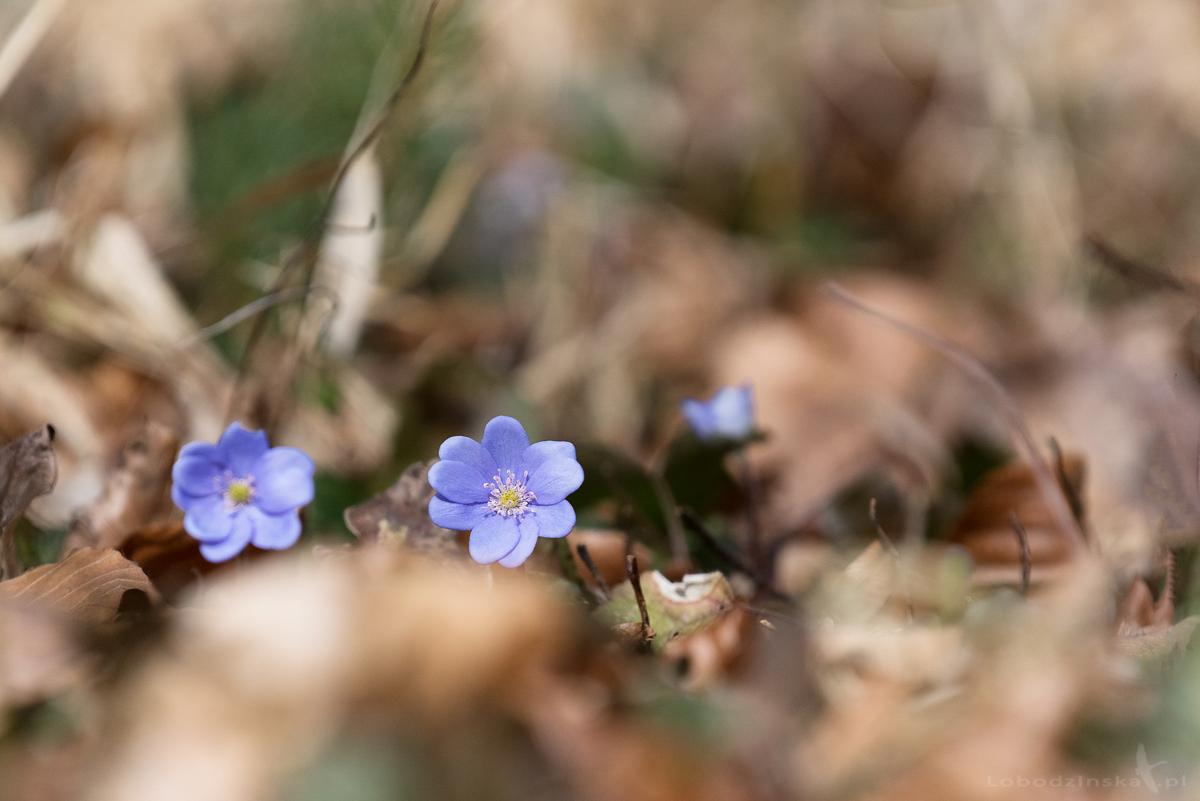 Przylaszczka pospolita (Hepatica nobilis Mill.)