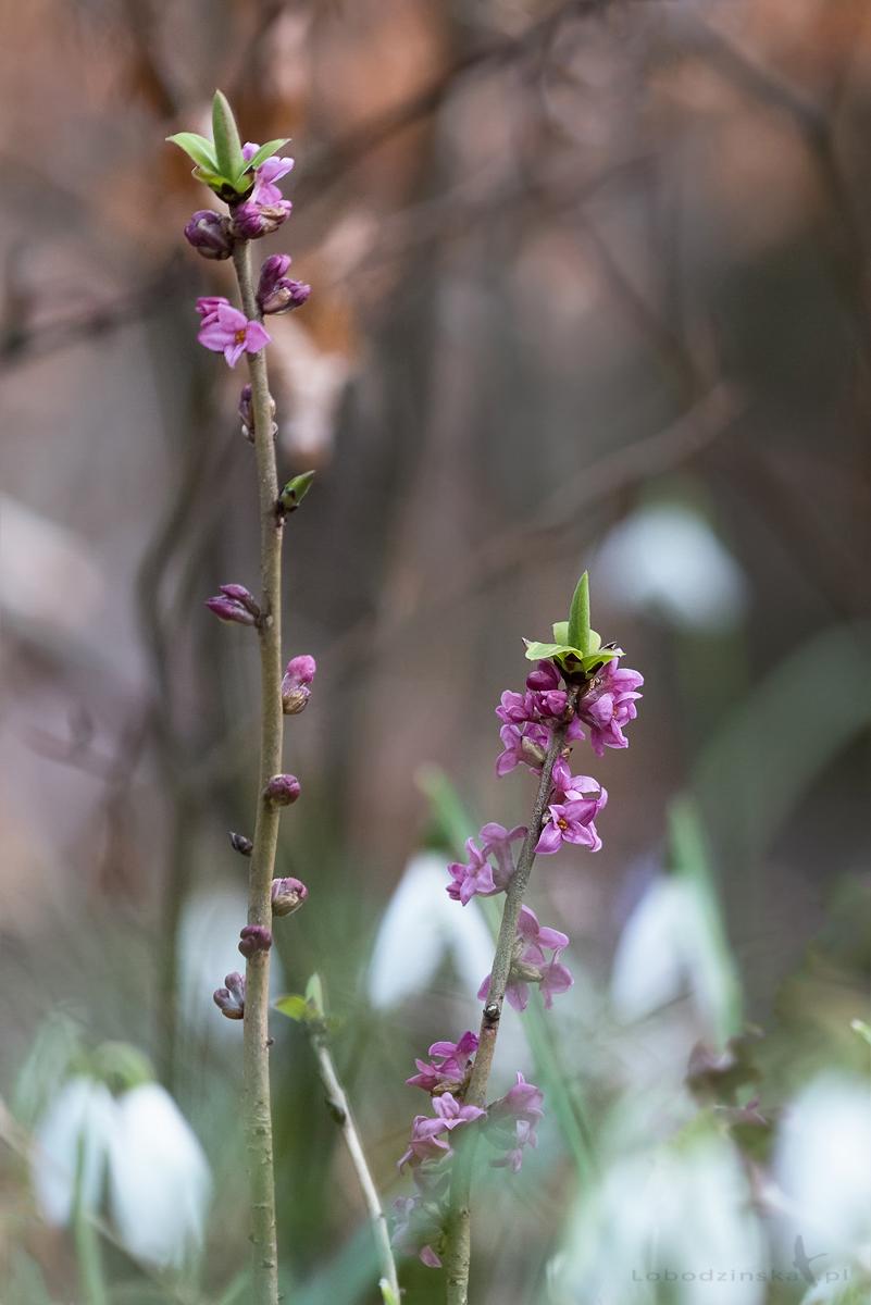 Wawrzynek wilczełyko (Daphne mezereum)