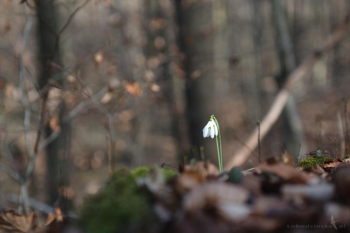 Przebiśniegi (Galanthus nivalis)