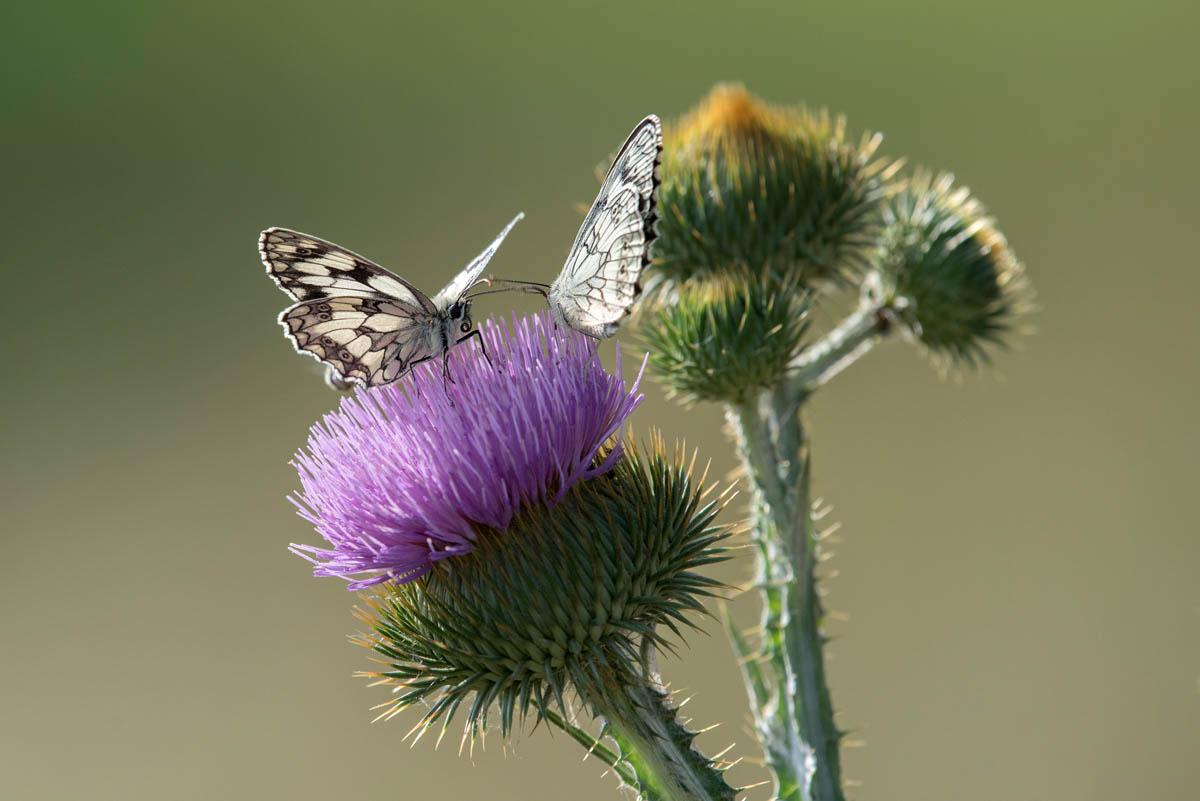 Polowiec szachownica (Melanargia galathea)