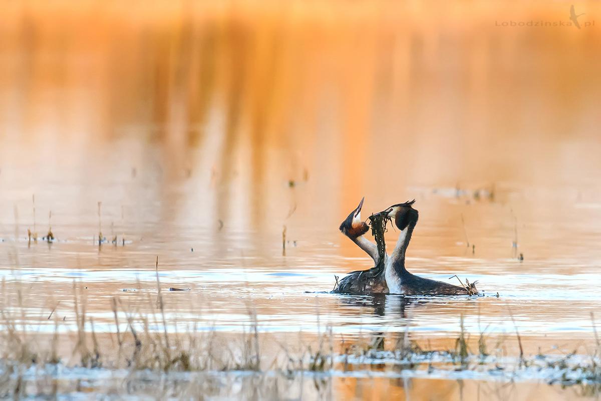 Perkozy dwuczube (Podiceps cristatus)